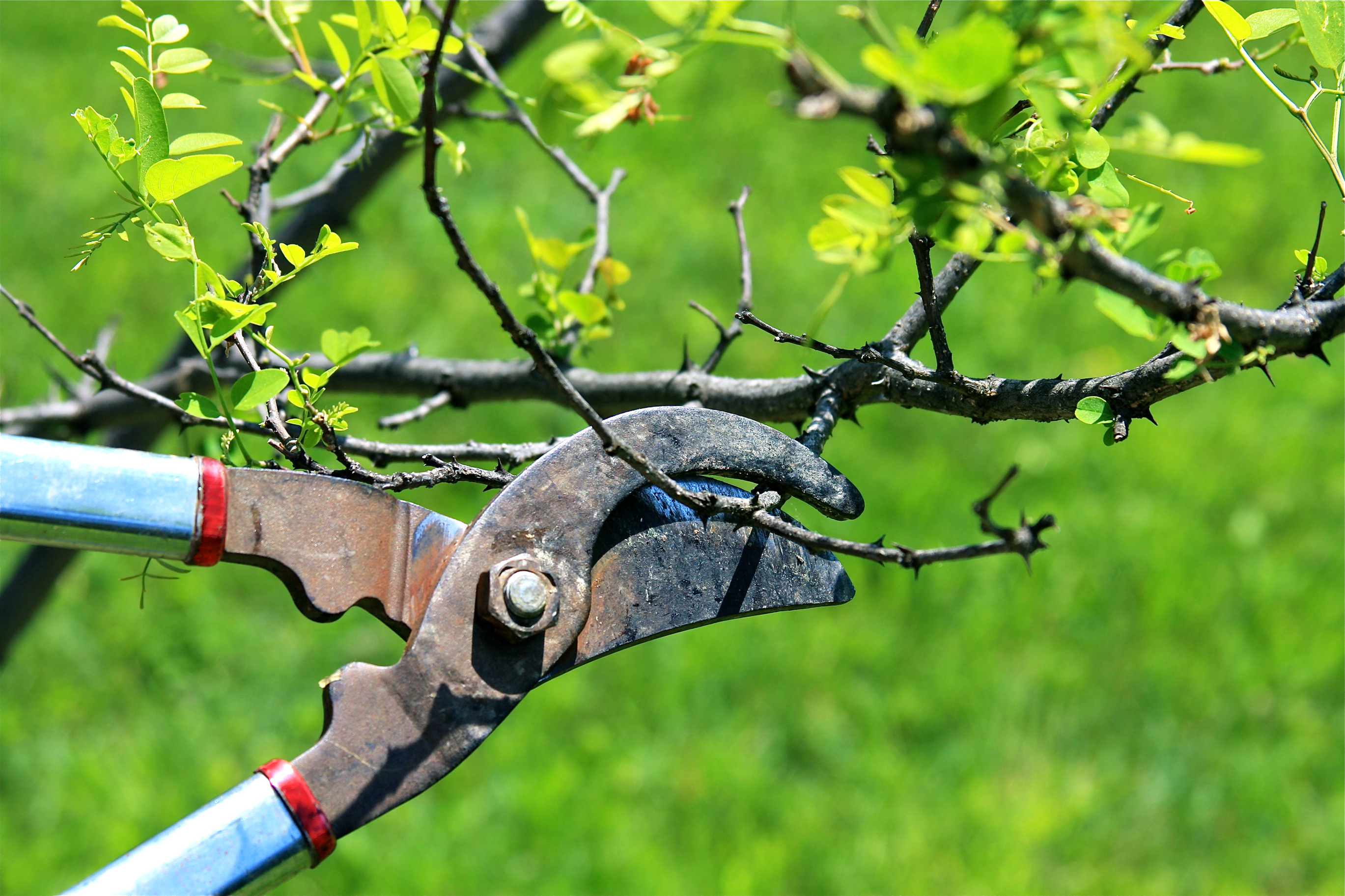 Tree pruning on regular basis can protect other good trees in Melbourne