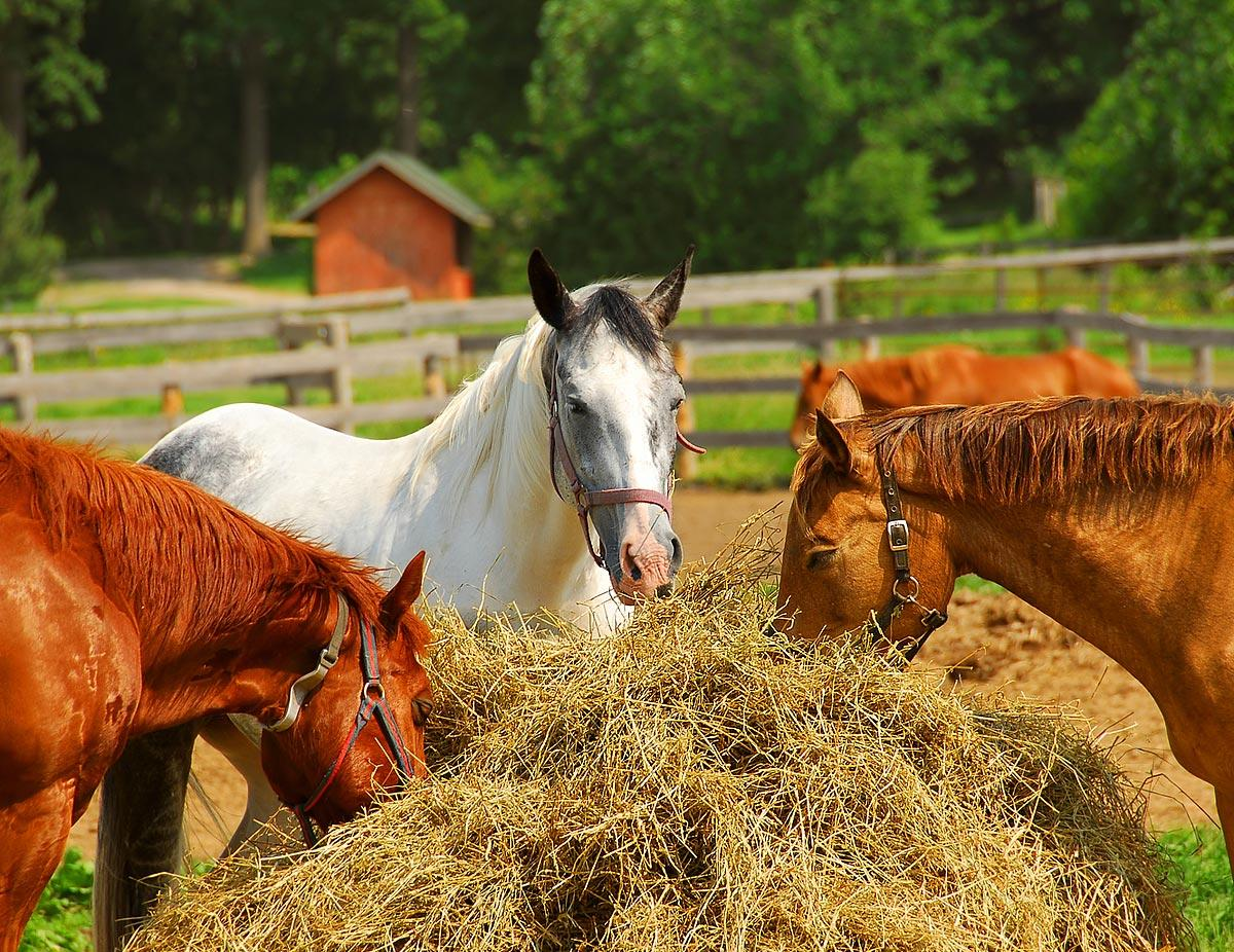How to feed your horse nutrition food? – Guidelines